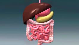 Анатомия желудочно-кишечного тракта