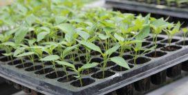 Как правильно выращивать рассаду в кассетах